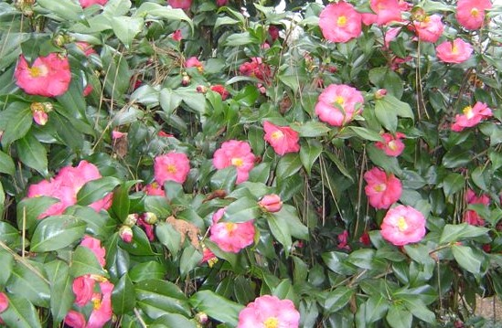Camellias3