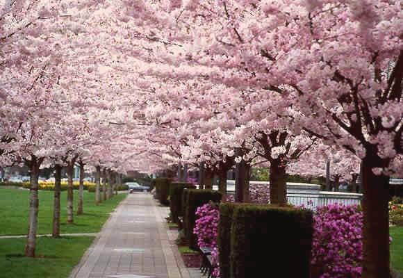 Flowering_cherry