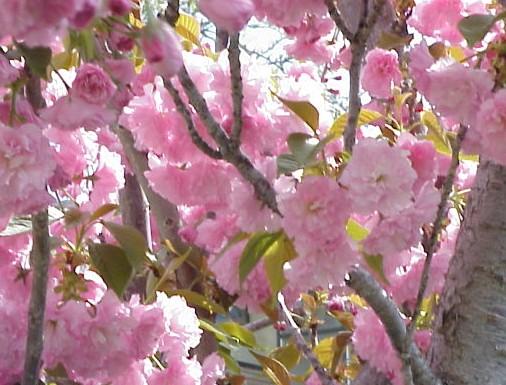 Flowering_cherry_2