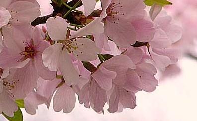 Flowering_cherry_4